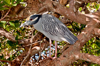 Yellow-crowned Night Heron, Nyctanassa violacea, perched on mangrove branch, Tampa Bay, Florida, USA
