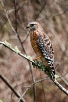 Red-shouldered Hawk (Buteo lineatus), Starke, Florida, USA