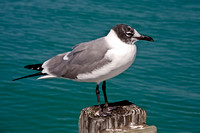 Laughing Gull (Larus atricilla), Anna Maria, Florida, USA