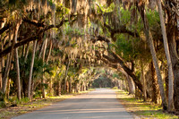 Live Oak canopy over road with Spanish Moss